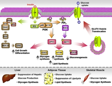 Insulin resistance: An adaptive mechanism becomes maladaptive in
